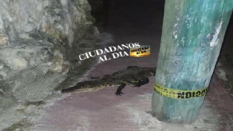 Capturan a un lagarto que deambulaba por calles de Muxupip