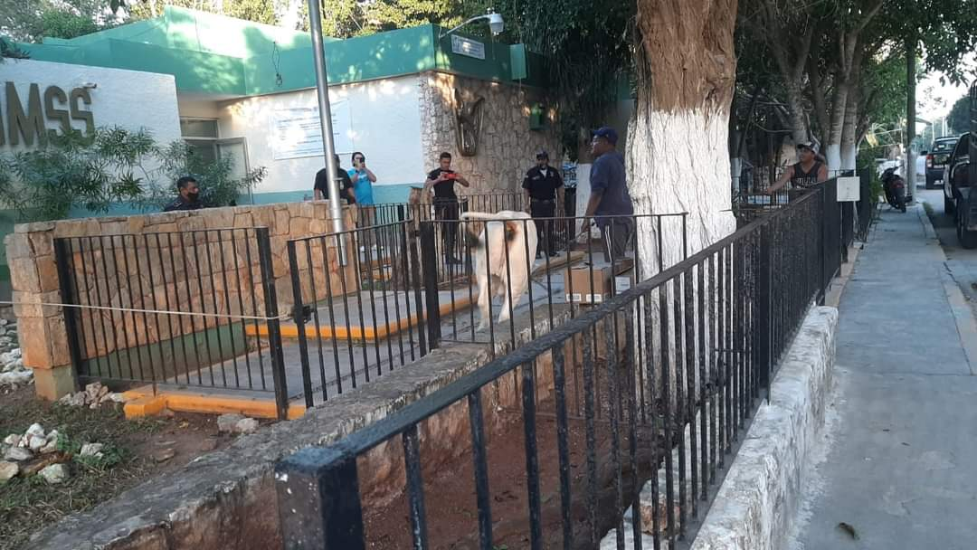 Policías atrapan a un toro dentro del IMSS de Dzilam González
