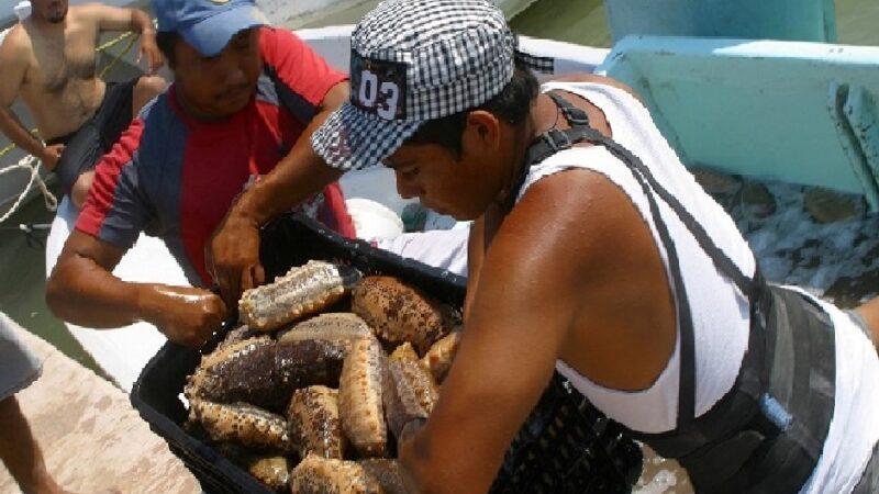 La captura de pepino de mar no beneficiara al sector pesquero en Yucatán