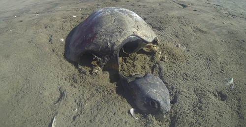 Muerte masiva de tortugas caguama genera alarma en Baja California Sur